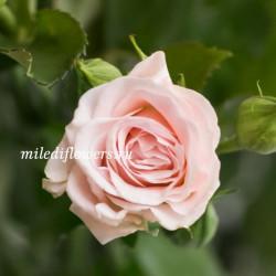 Роза кустовая Aerobic