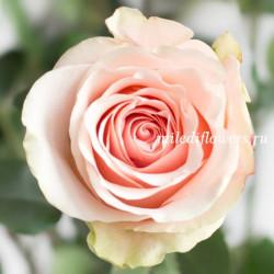 Роза Классическая Amorosa
