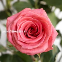 Роза классическая Amsterdam