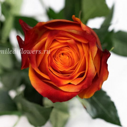 Роза классическая Atomic