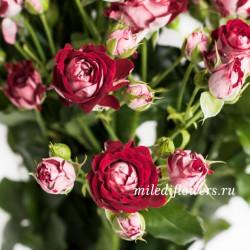 Роза кустовая B-Bubbles