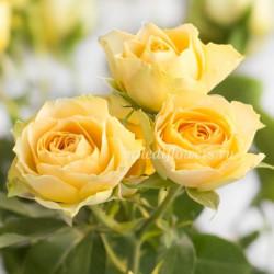 Роза кустовая Bandolero