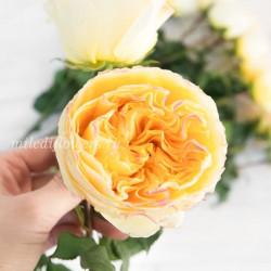 Роза пионовидная David Austin Beatrice