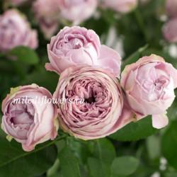 Роза кустовая Blason Bubbles