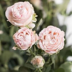 Роза кустовая Bombastic