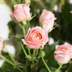 Роза кустовая Bridal Bubbles