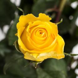 Роза классическая Brighton