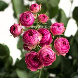 Роза кустовая Candy Sensation