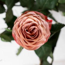 Роза Классическая Cappucino