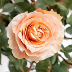Роза классическая Carpe Diem
