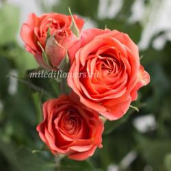 Роза кустовая Charming Babe