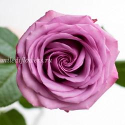 Роза классическая Cool Water