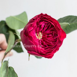 Роза пионовидная David Austin Darcey