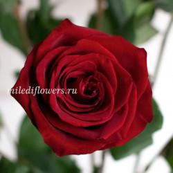 Роза классическая Explorer
