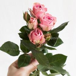 Роза кустовая Fantasy Light Pink