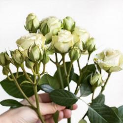 Роза Кустовая Fantasy White