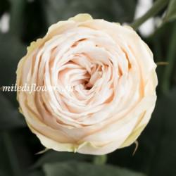 Роза кустовая Galina