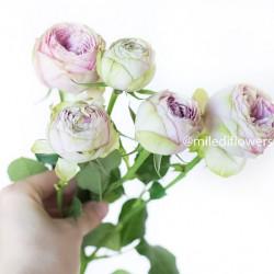 Роза кустовая Green Pink Lace