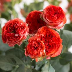 Роза кустовая Hero