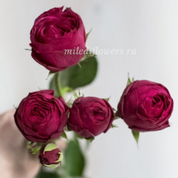 Роза Кустовая Hot Pink Lace
