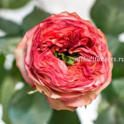 Роза пионовидная Houdini