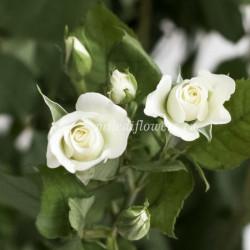 Роза кустовая Jeanine