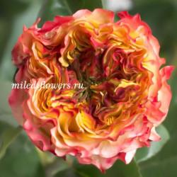 Роза пионовидная Kabanna