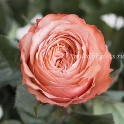 Роза Классическая Kahala