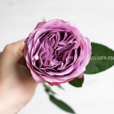Роза Пионовидная Lavender Bouquet