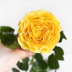 Роза Пионовидная Lemon Pompon