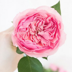 Роза пионовидная Mariatheresia