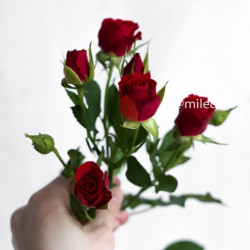 Роза кустовая Mirabel