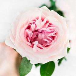 Роза пионовидная David Austin Miranda