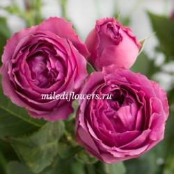 Роза кустовая Misty Bubbles