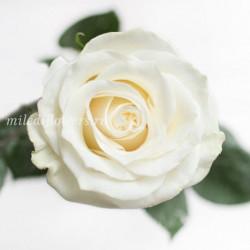 Роза Классическая Mondial
