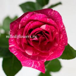 Роза классическая Pandora