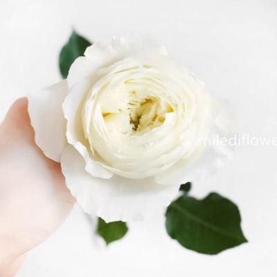 Роза пионовидная David Austin Patience