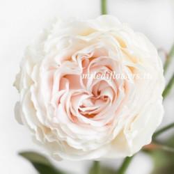 Роза кустовая Pearl Diamond