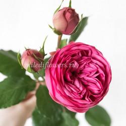 Роза пионовидная Pink Piano