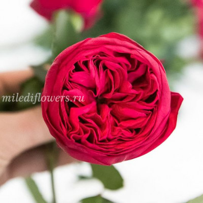 Роза пионовидная Red Piano
