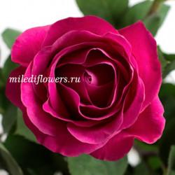 Роза Классическая Pink Floyd