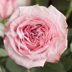 Роза пионовидная Pink O'Hara