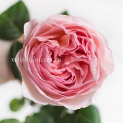 Роза пионовидная Princess Charlene