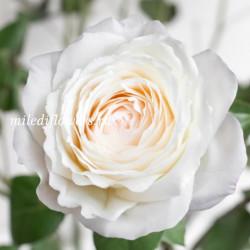 Роза пионовидная Princess Miyuki