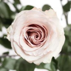 Роза классическая Quicksand
