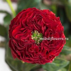 Роза пионовидная Red Eye