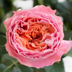 Роза пионовидная Rosa Loves Me