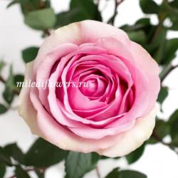Роза классическая Saga