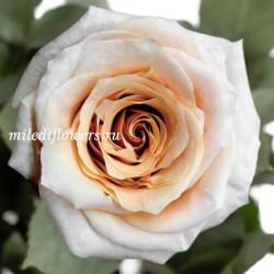 Роза классическая Shimmer