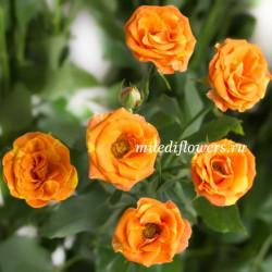 Роза кустовая Smashing